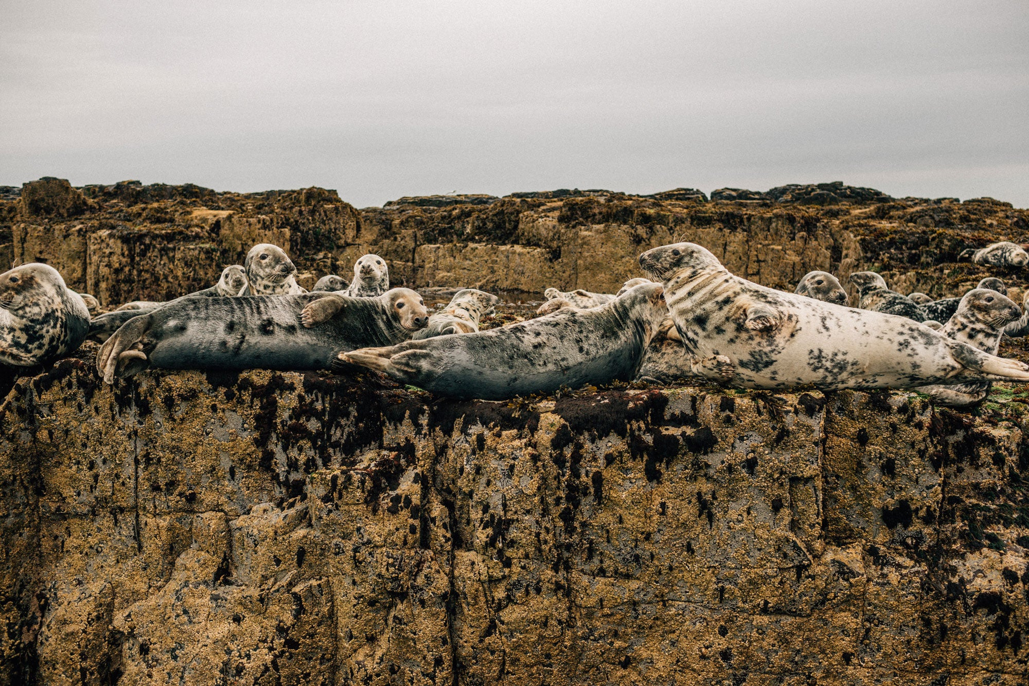 Grey-seals-resting-on-the-rocks-of-the-farne-islands