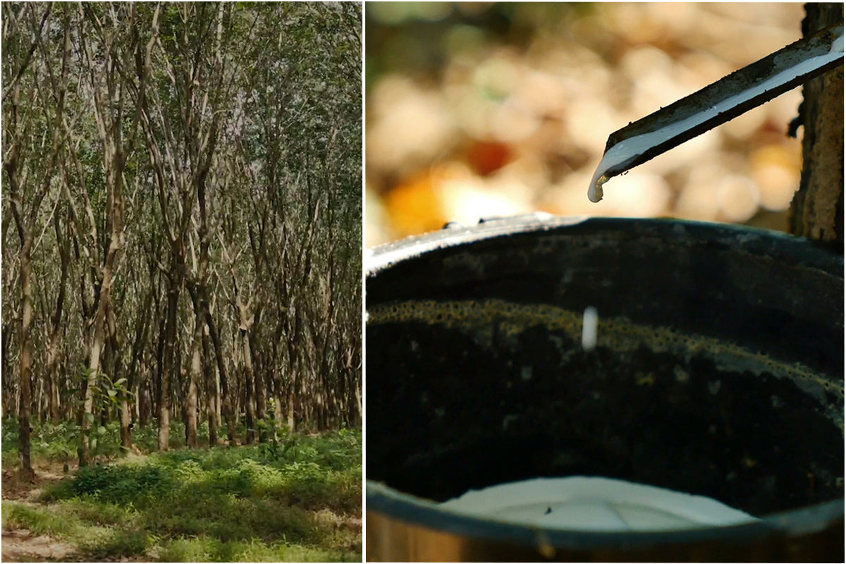 Rubber emulsion tapped from Havea trees at a Yulex plantation