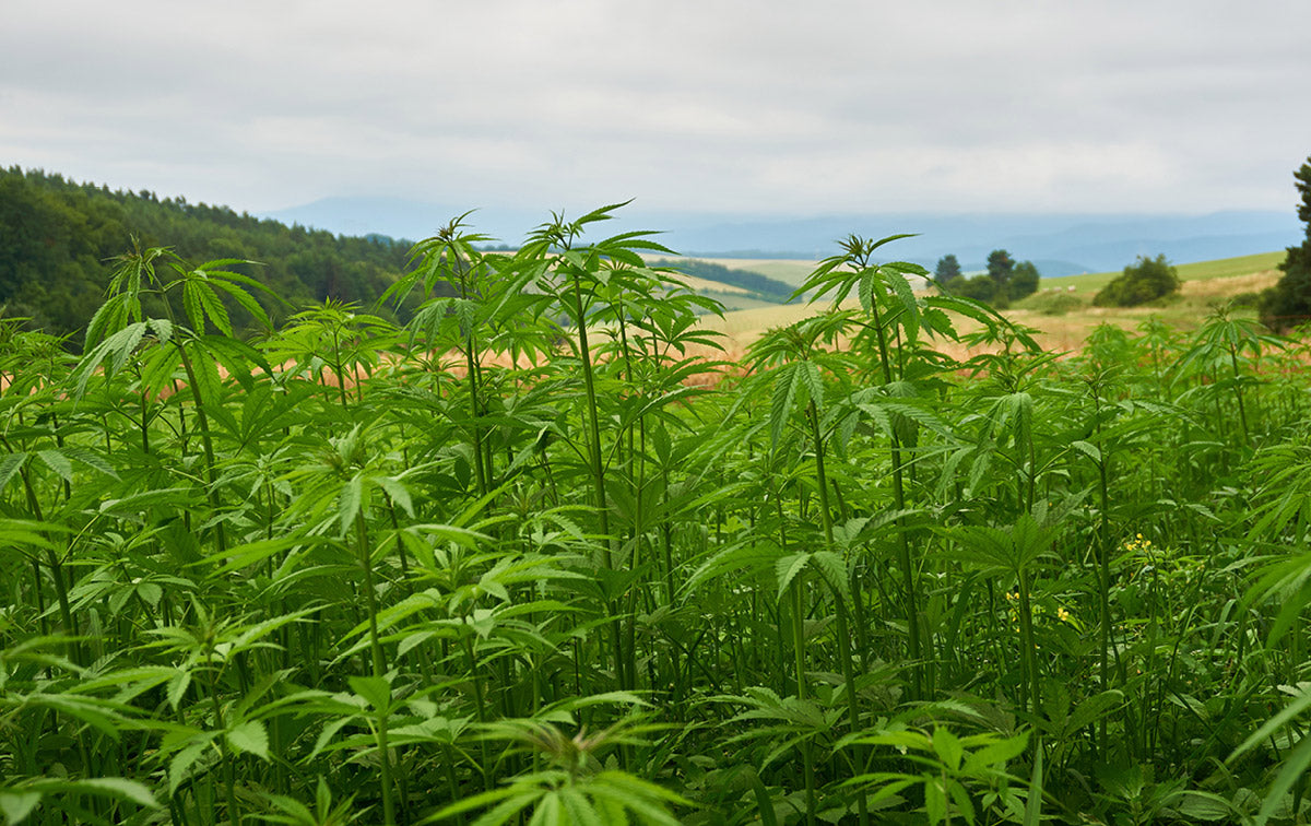 Hemp plants growing in a field
