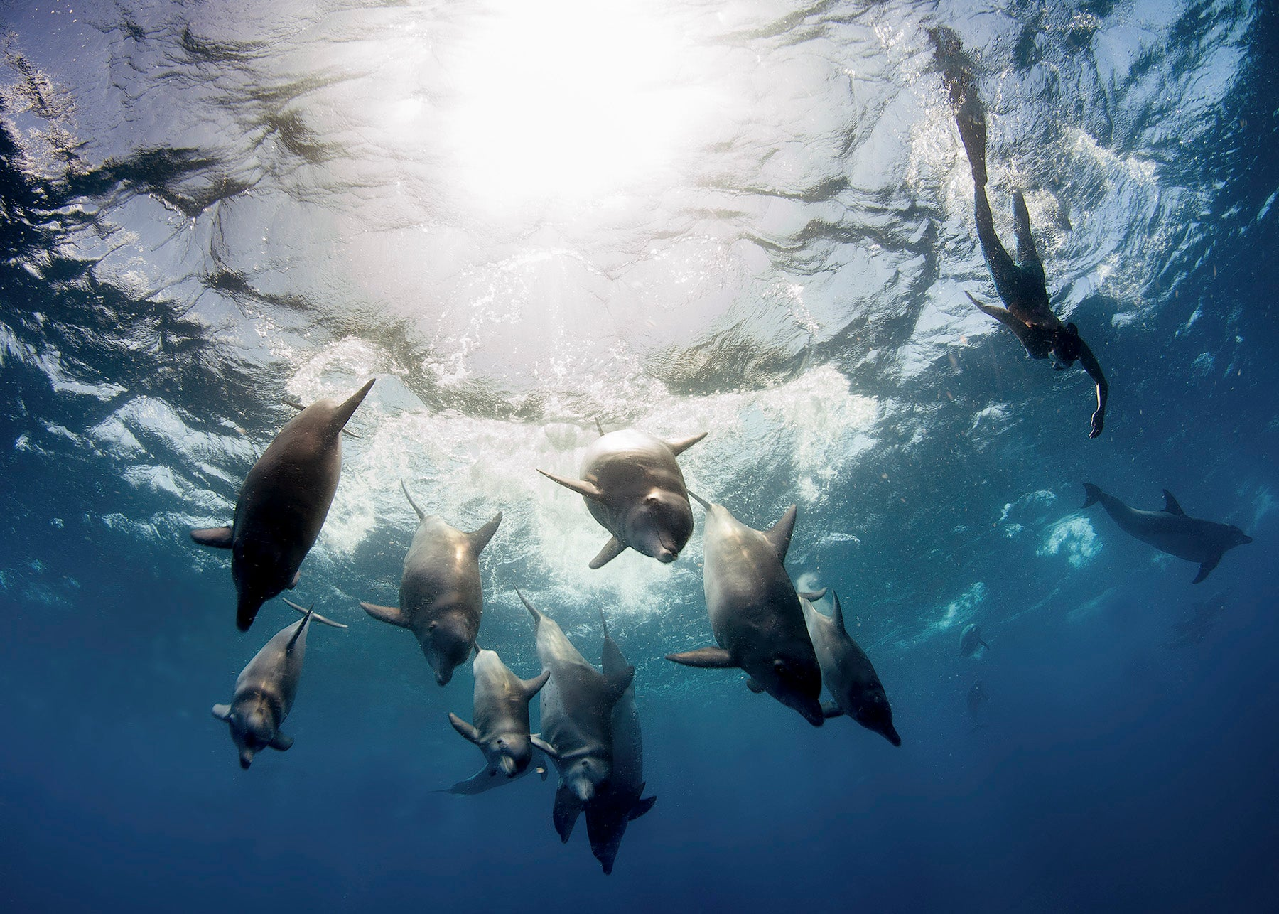 Dolphins diving down from the surface with Hanli swimming alongside