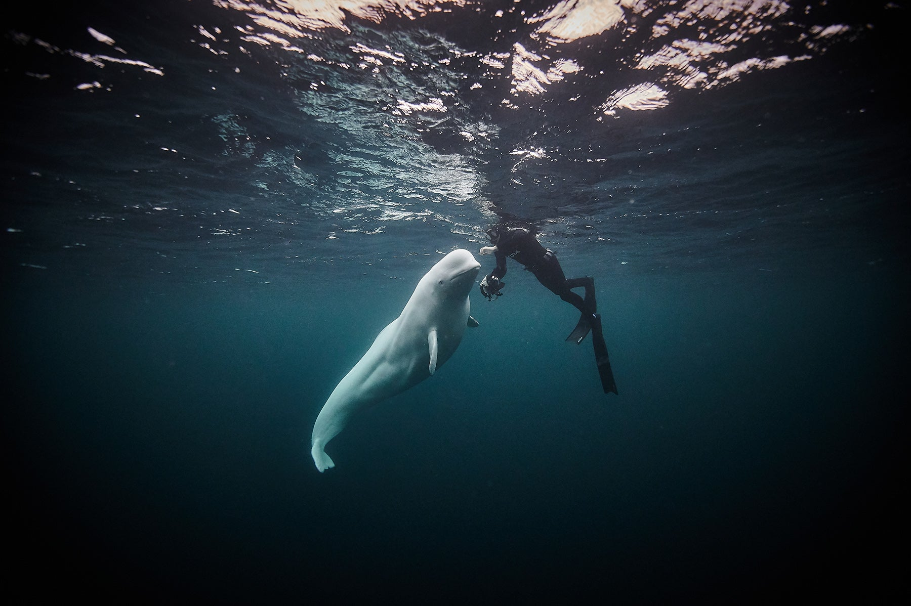 Hvladimir the beluga whale comes to meet a diver in the water
