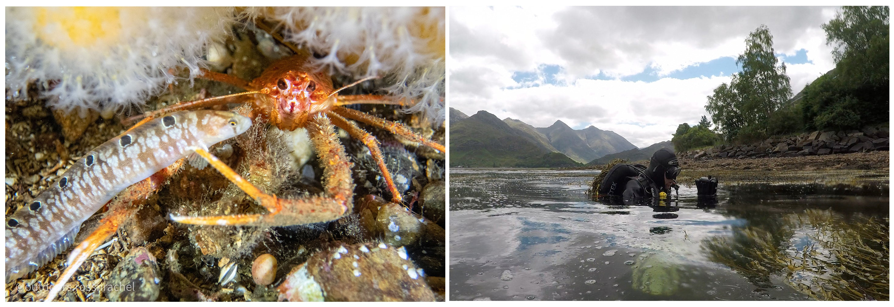 Left image of brittlestars and right image shows diver in Loch Duich
