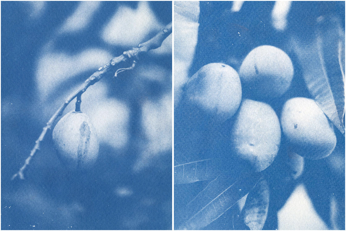 Cyanotype image of fruit growing by Ines Ambrosio