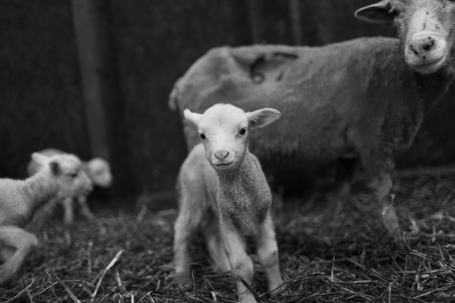 Baby lamb from Finisterre's Bowmont Merino flock farmed by Lesley Prior