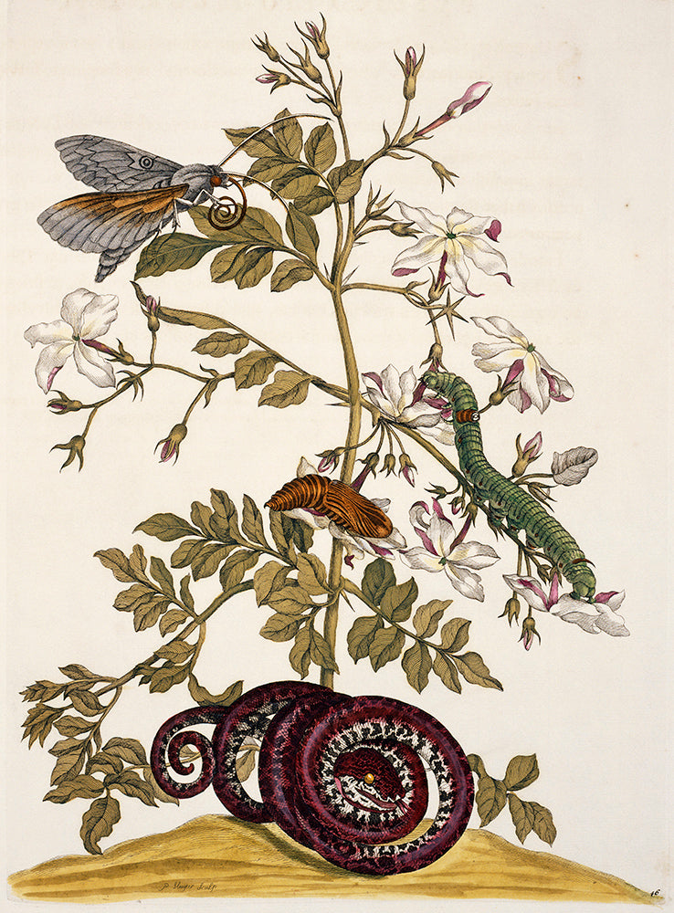 Maia Sibylla Merian - Illustration 5
