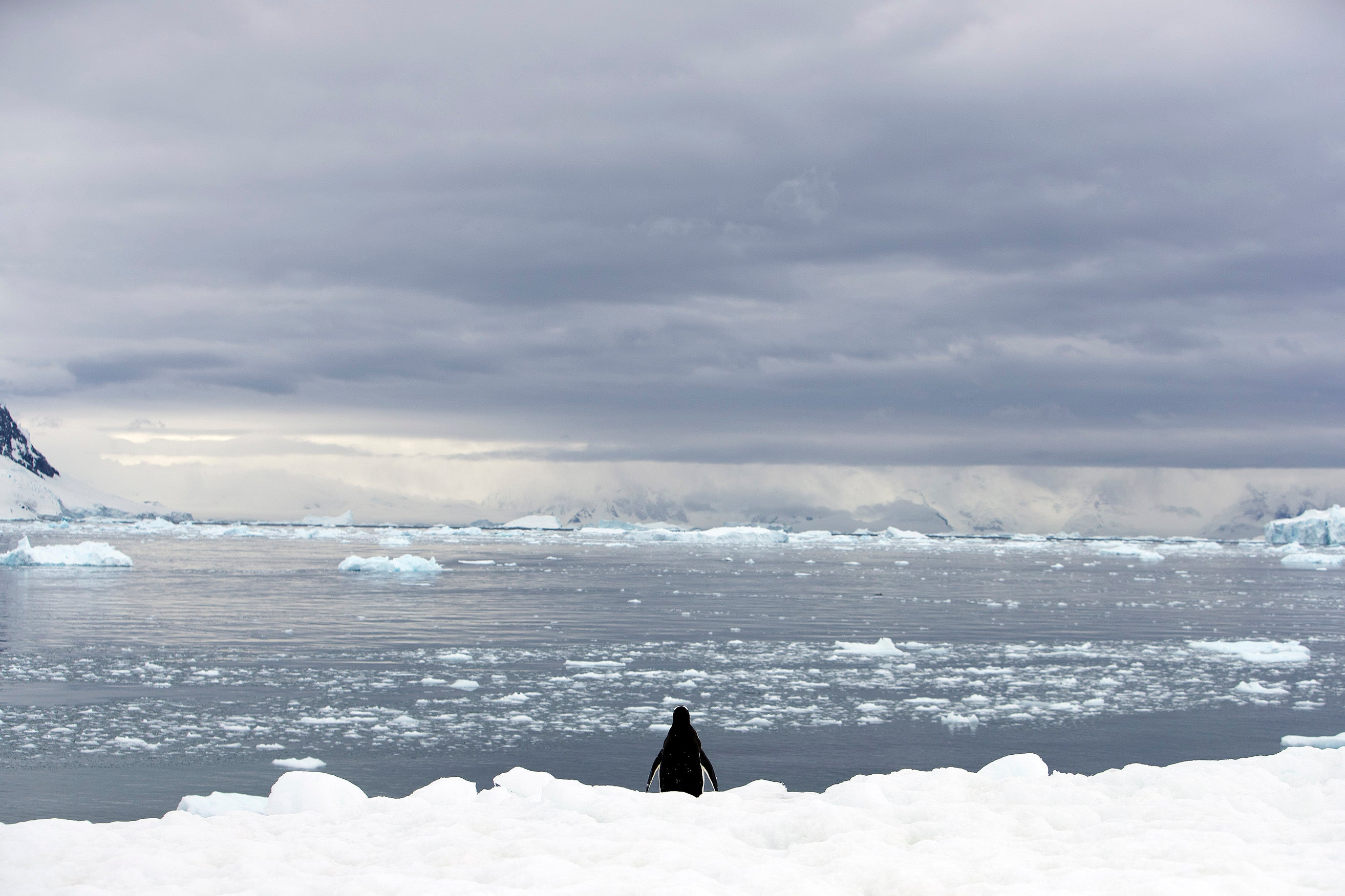 A lone penguin looks out to sea from the Antarctic ice shelf