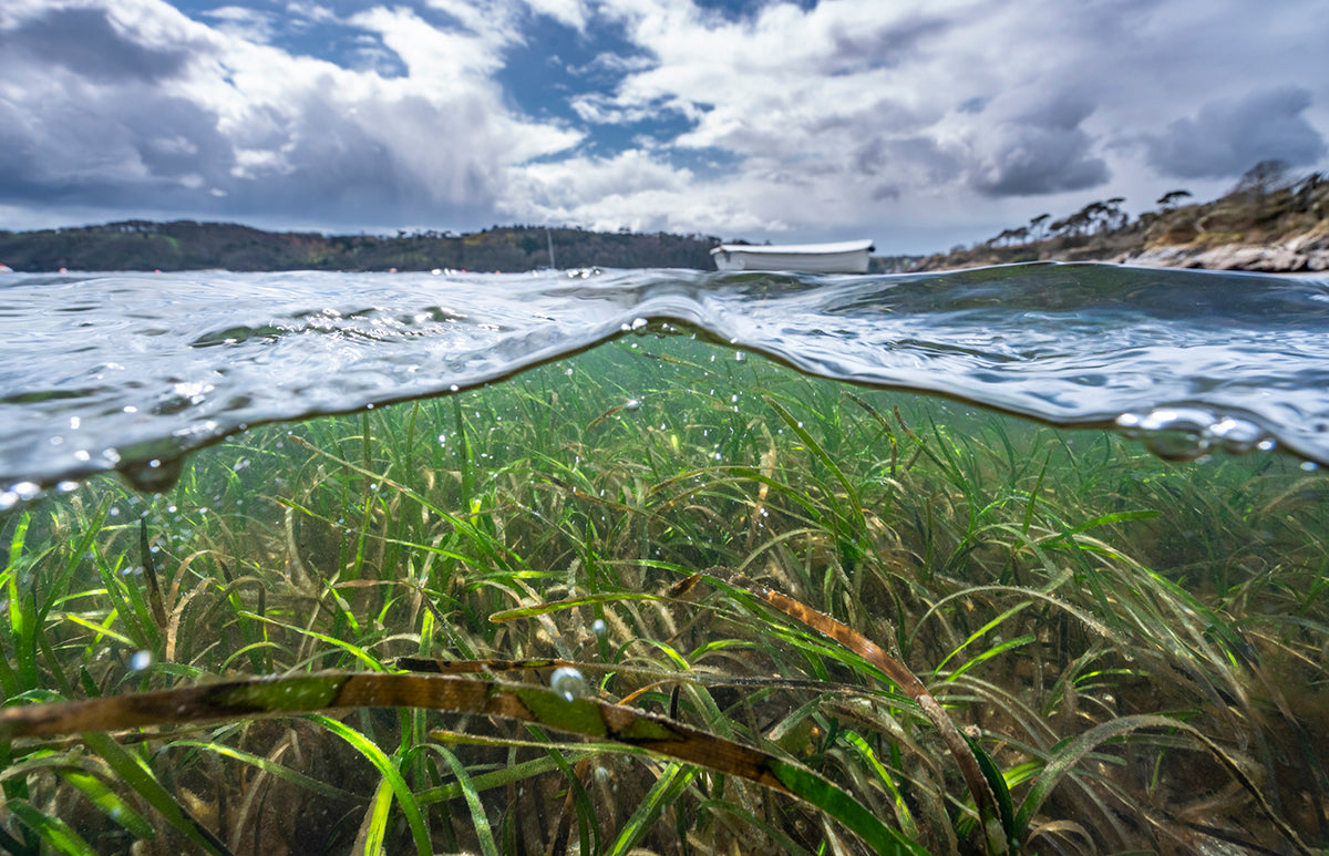 Coastal canaries: British seagrass meadows are found in our sheltered, shallow coastal seas. The status of seagrasses can warn us about the health of our coastal ecosystem.