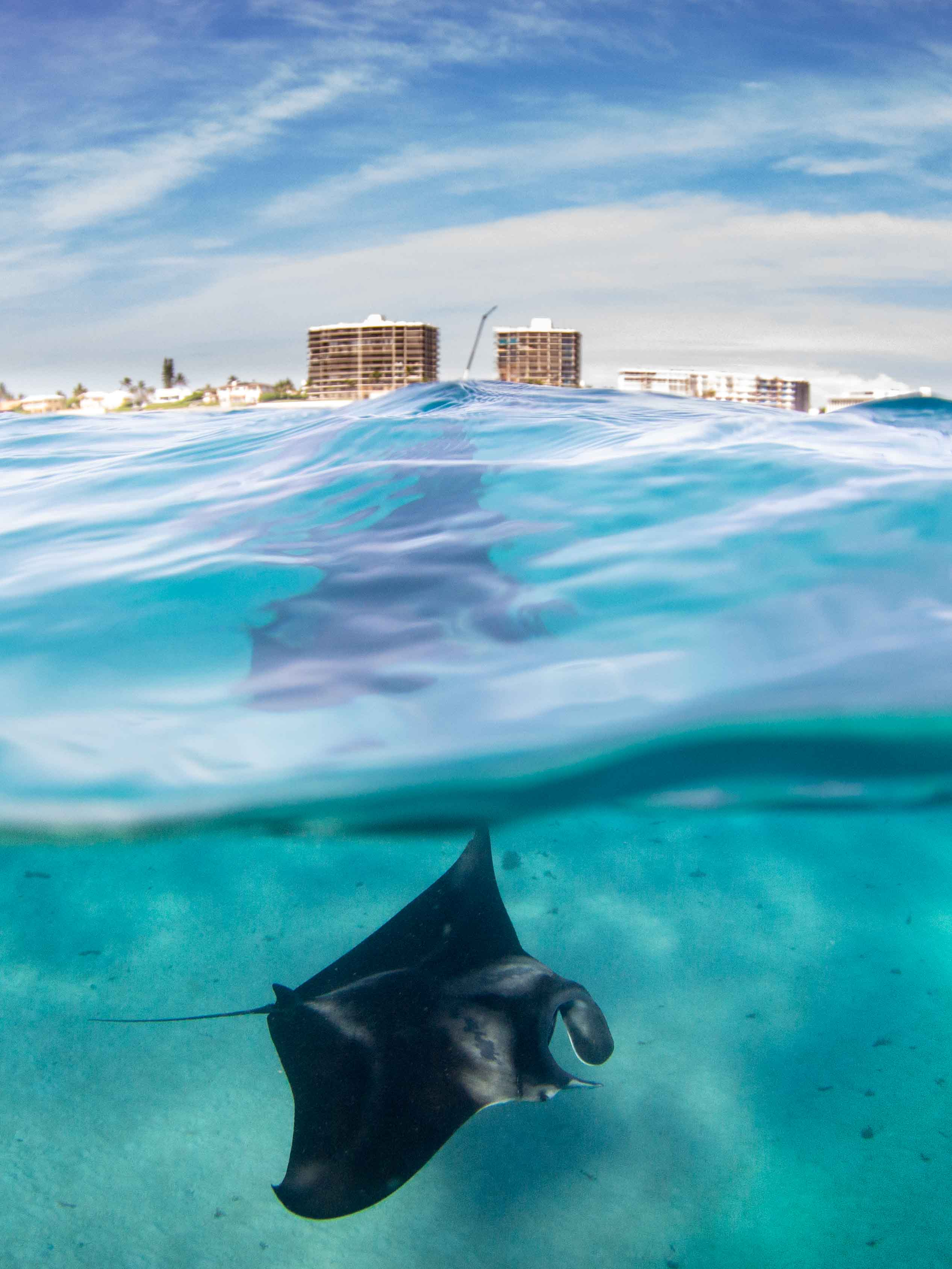 A manta glides beneath crystal clear blue waters