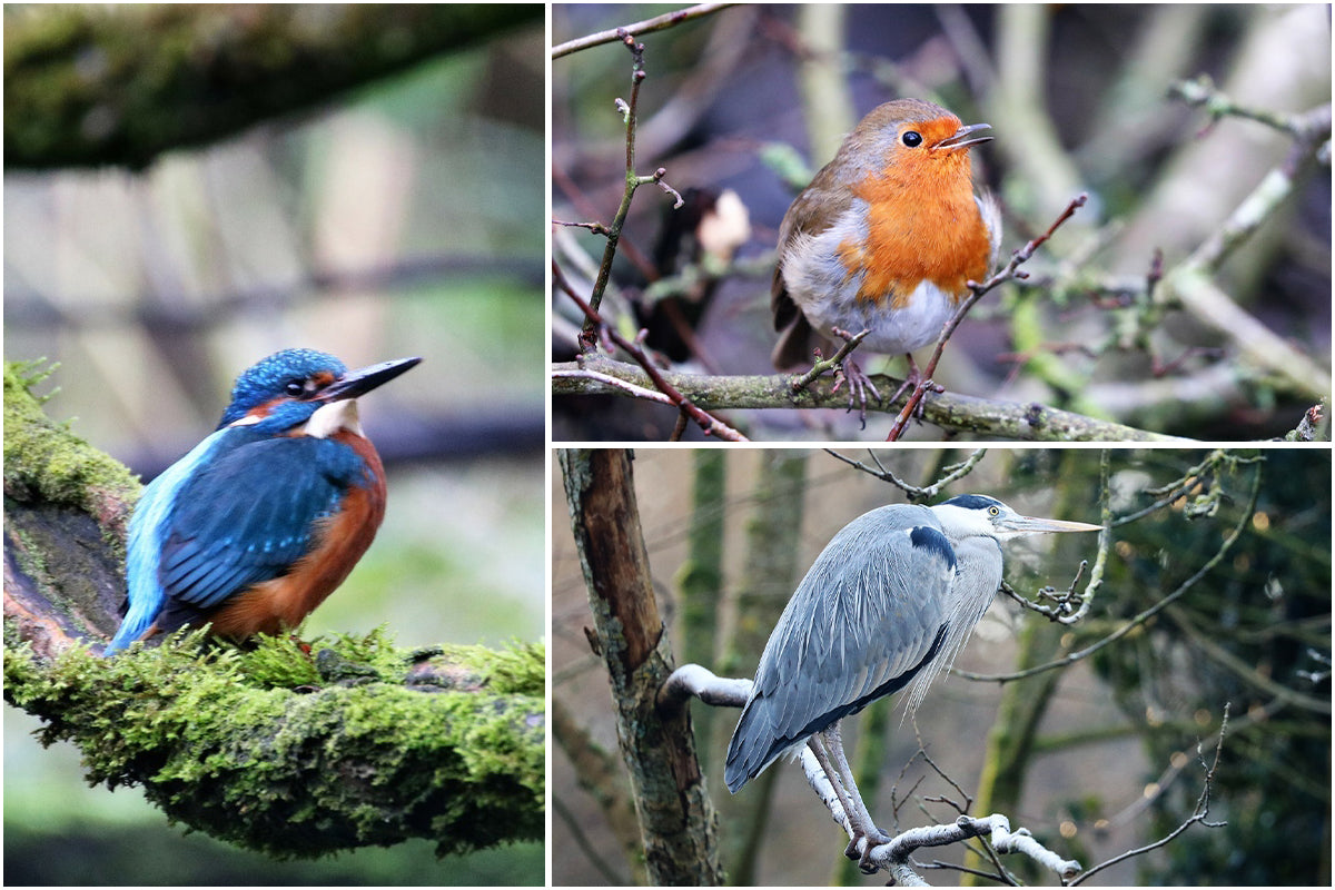 The birds seen on Phil's walks; a Heron, a Robin and a Kingfisher