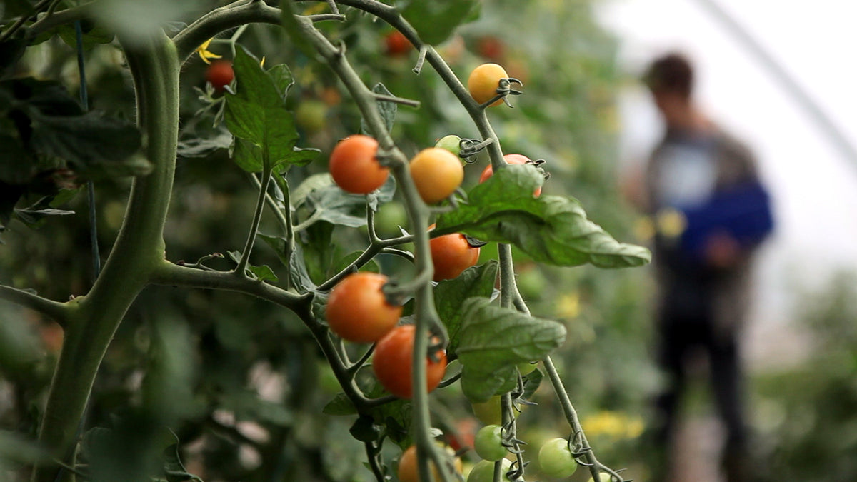Fresh Tomatoes ripening on a vine at Moy Hill Farm