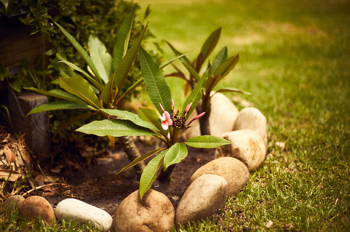 The Hope Trees - two small Frangipani trees planted to remind the Paterson family of future hope.