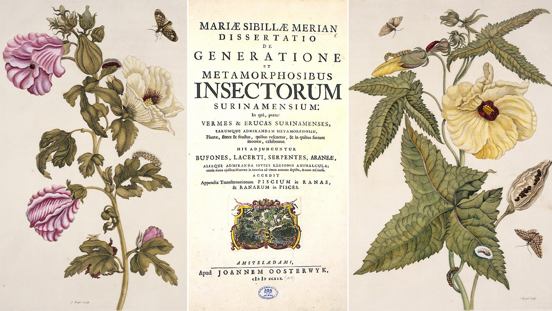 The title page of Maria Sibylla Merian's seminal work on insect metamorphasis with illustrations - Metamorphosis Insectorum Surinamese