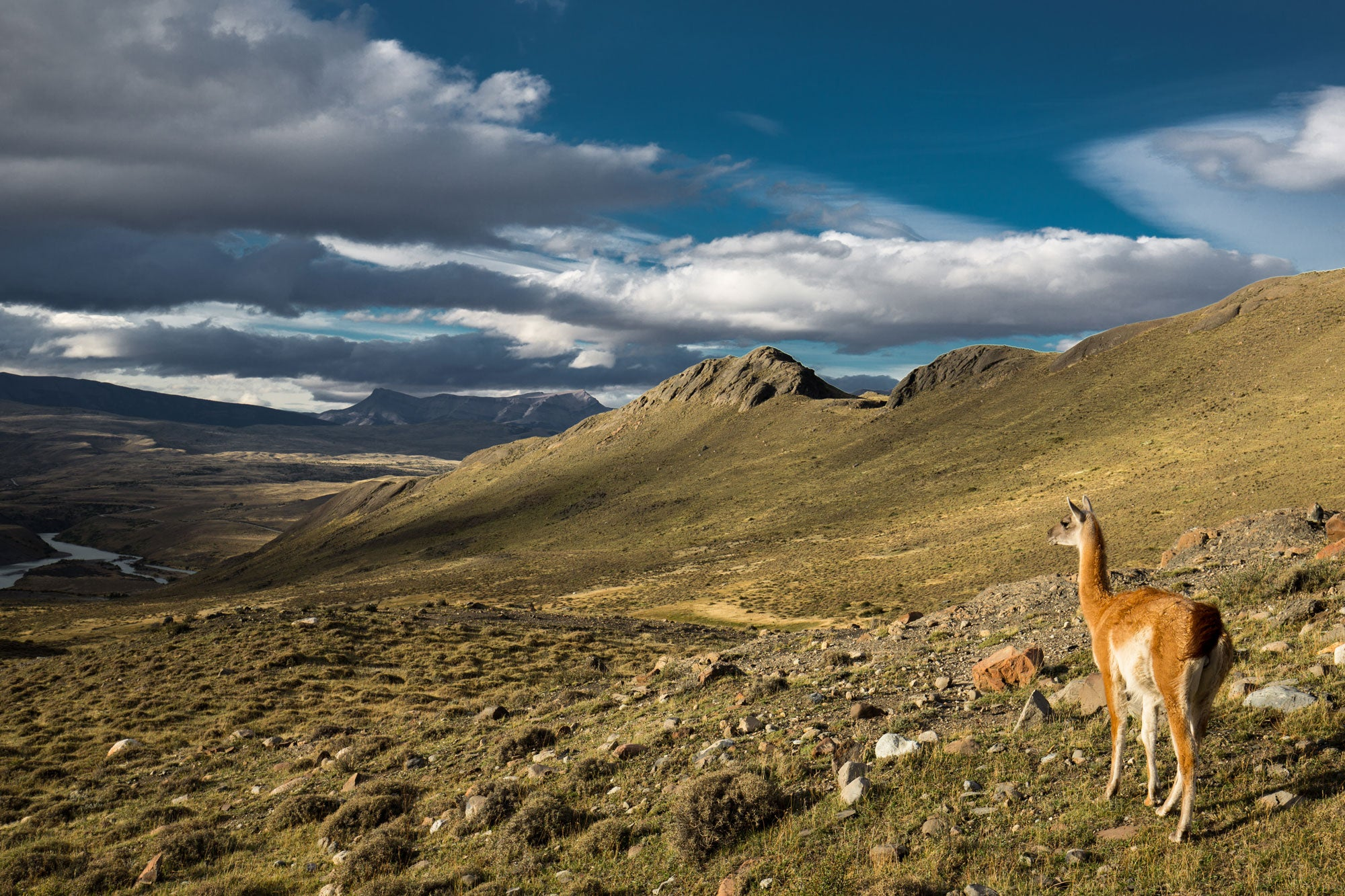 a-guanaco-looking-out-at-the-patagonian-landscape