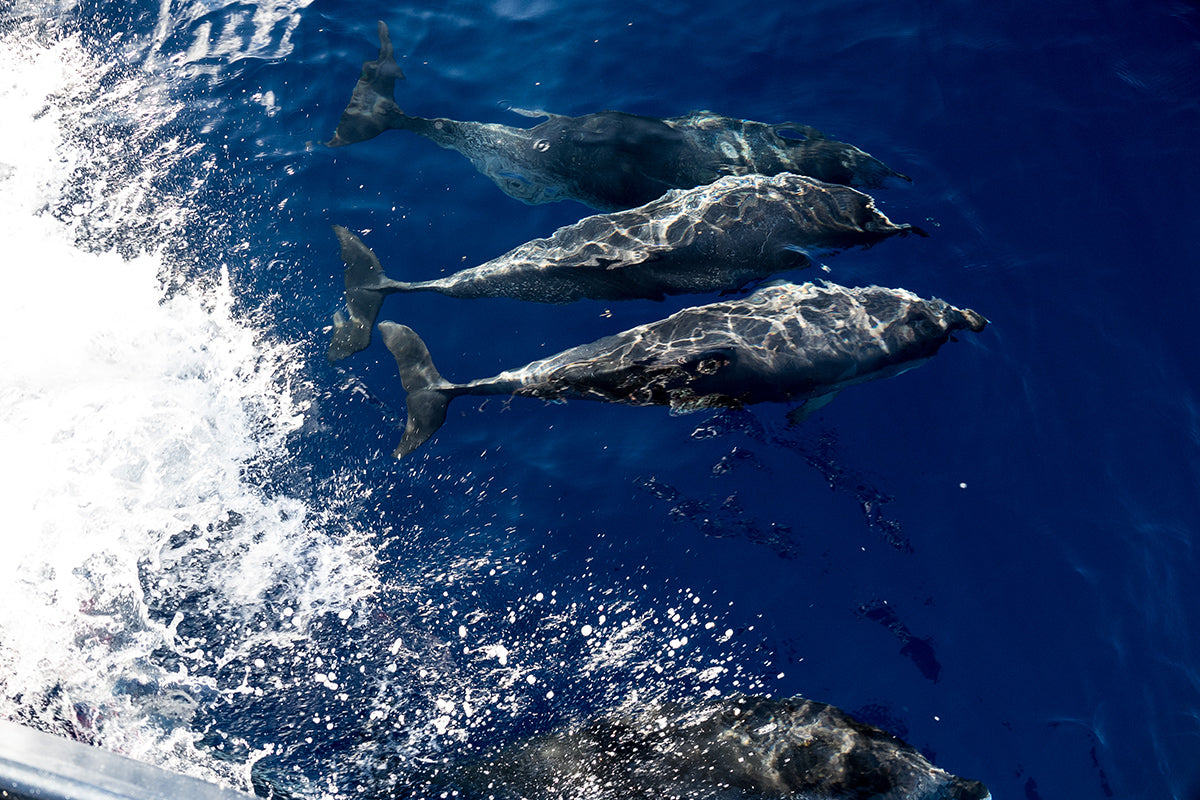 Atlantic Spotted Dolphins play in the wake of the bow of S.V. TravelEdge