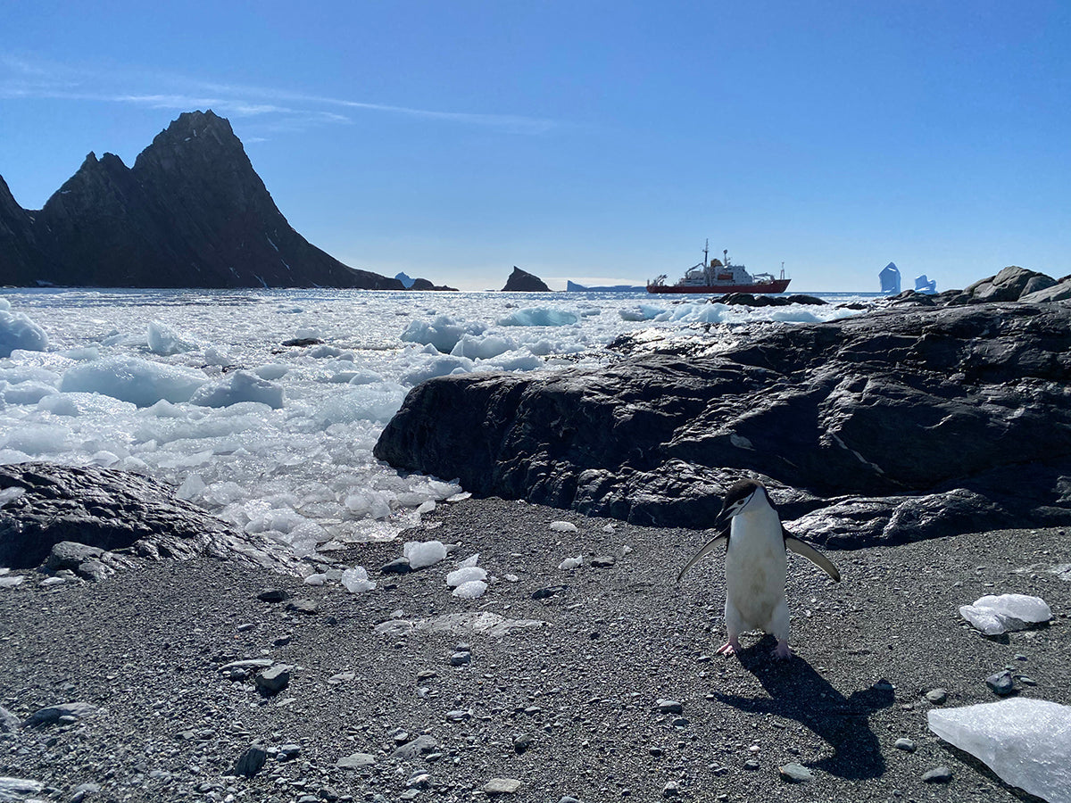 A chinstrap penguin searches the beach with the icebreaker ship in the background