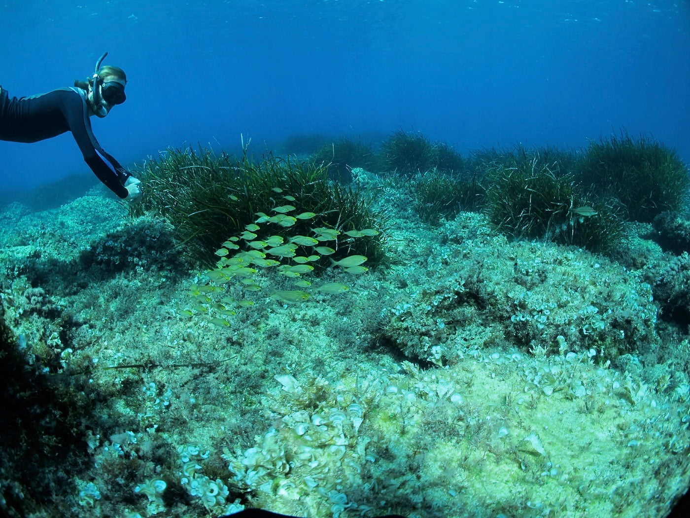 A diver can be seen tending to the seagrass meadow under water.