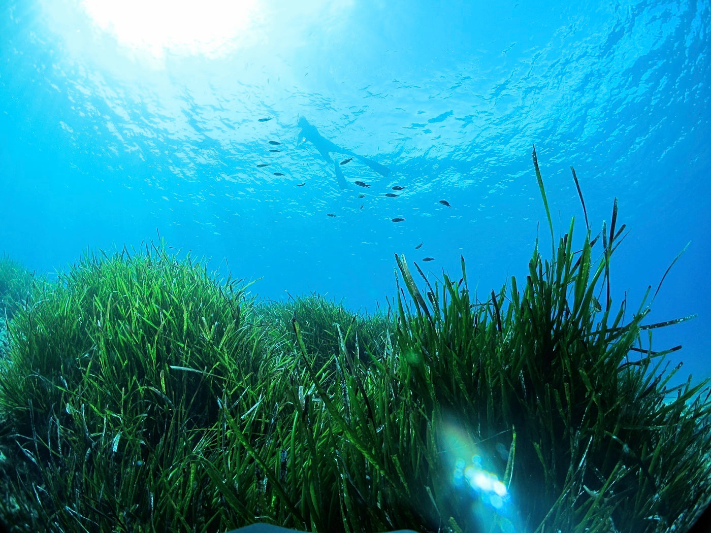 A vibrant green seagrass meadow showing what a healthy habitat looks like