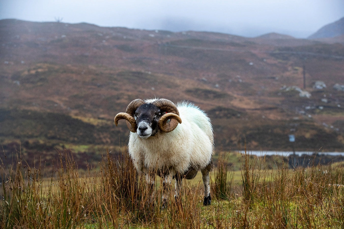 A Blackfaced Sheep or at home on the moors of the Outer Hebrides