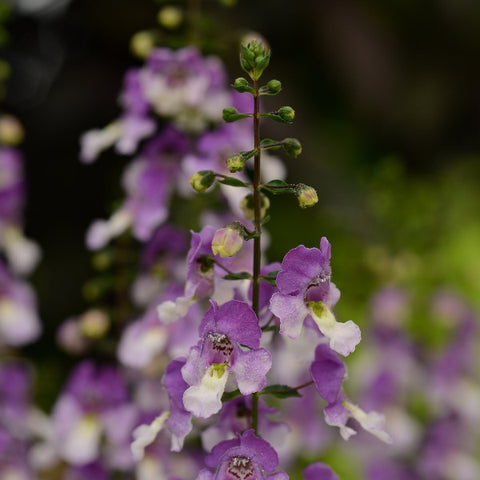 Angelonia Archangel