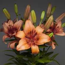 Lily Asiatic Fantasiatic