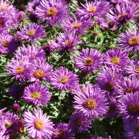 Aster Purple Dome