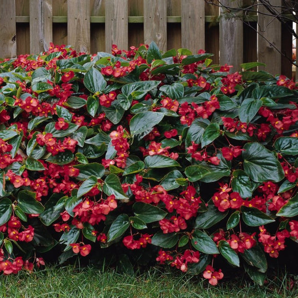Begonia Dragon Wing®