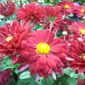 Chrysanthemum Firestorm