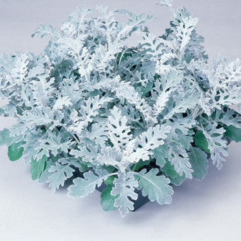 Dusty Miller Silverdust Pack
