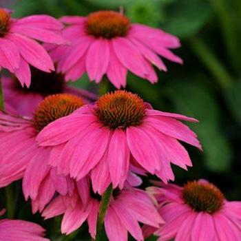 Echinacea PowWow Wildberry