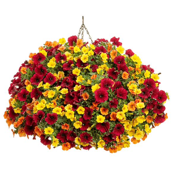 Mixed Annual Sun Hanging Basket