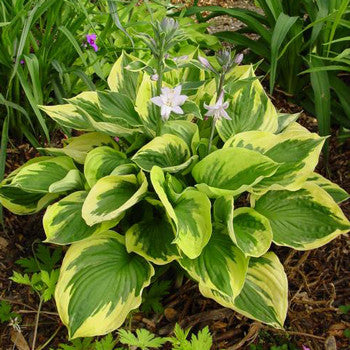 Hosta Twilight