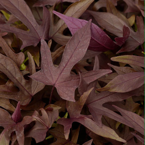 Ipomoea Spotlight Sweet Potato Vine