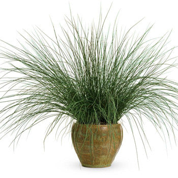 Grass Juncus Blue Mohawk