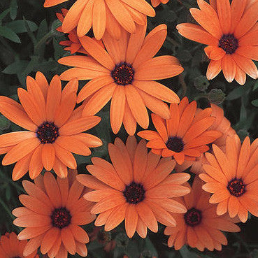Osteospermum Orange Symphony
