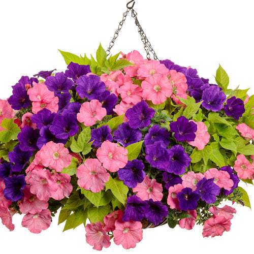 Petunia Supertunia®