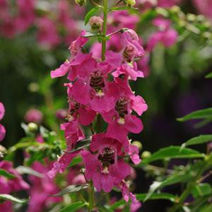 Angelonia Archangel Raspberry