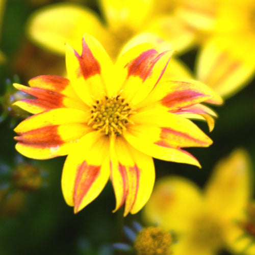 Bidens Beedance Red Stripe