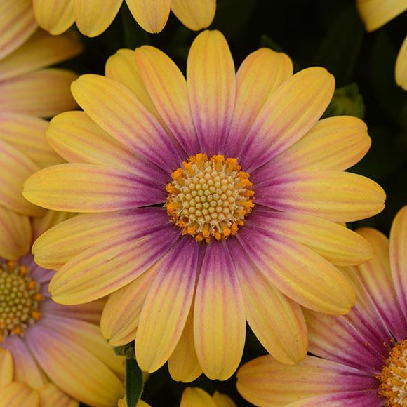 Osteospermum Beauty