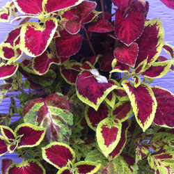 Coleus Bag of Bloom
