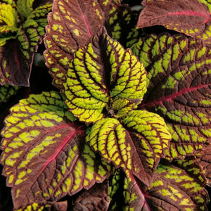 Coleus Fishnet Stockings