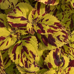 Coleus Stained Glassworks