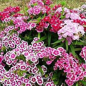 Dianthus Tall Double Mix
