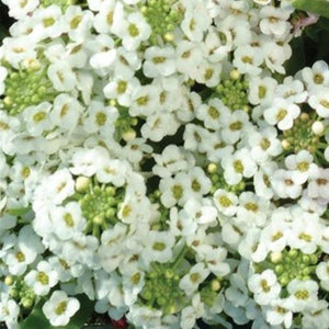 Alyssum Easter Bonnet Pack