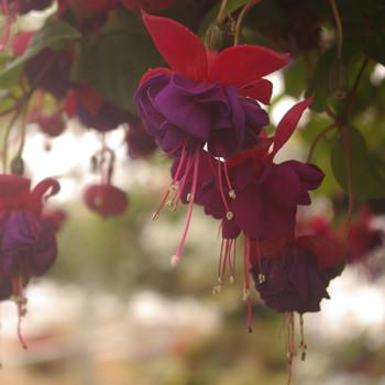fuchsia-purple-and-red