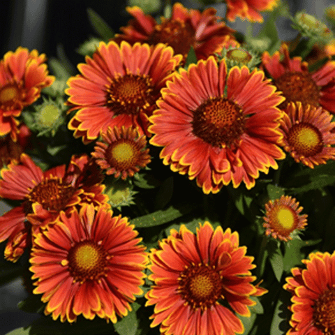 Gaillardia SpinTop Yellow Touch