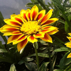 Gazania New Day®