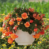 Begonia-Illumination-Golden-Picotee