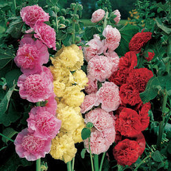 Hollyhock Chater's