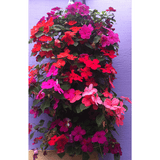 Impatiens Bag of Bloom