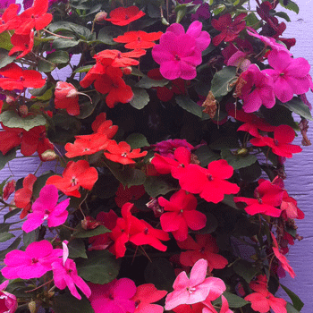 impatiens-bag-of-bloom